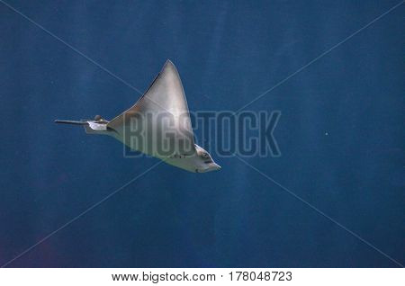 Ray gliding along underwater in the deep blue sea.
