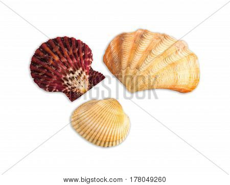 Simple Sea Themed Composition On White Background: Seasheels Composition