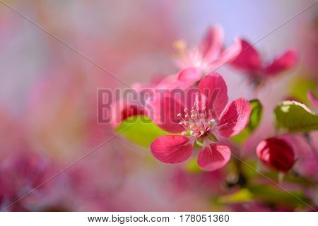 Beautiful background with red cherry blossoms omn a tree branch