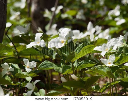White Trillium flowers on forest ground in daytime