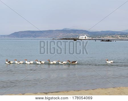 A flock of geese, swimming along the sea beach in the village of Georgioupolis, Crete, Greece