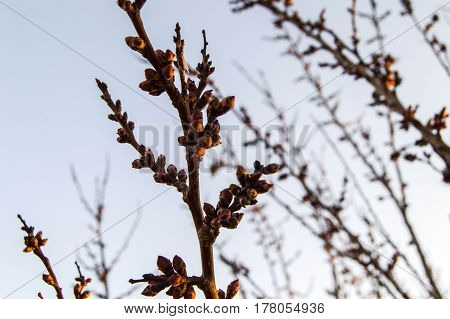 The buds of trees, budding trees, the arrival of spring and the blossoming of trees, apricot trees and buds