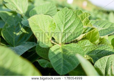 Agricultural young organic green soybean close up