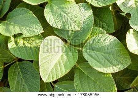 organic green young soybean plants close up