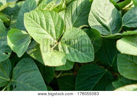 Green young vegetable soybean plants close up