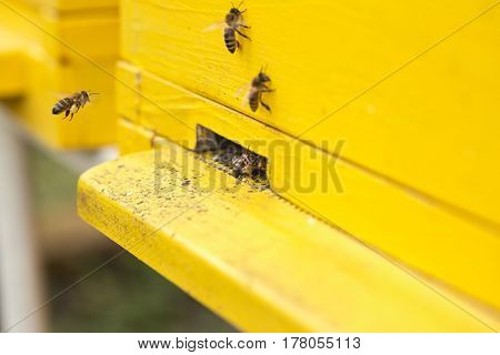 close up bees moving into a yellow beehive
