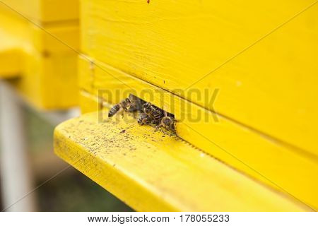 close up bees and entrance to the yellow beehive