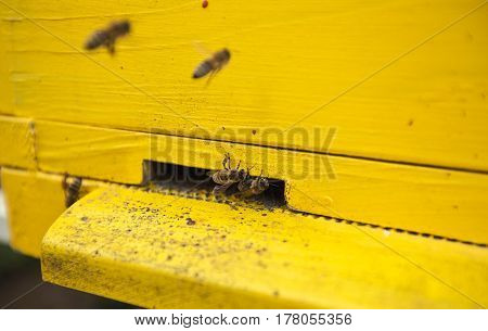 Bees are at the entrance to the yellow hive