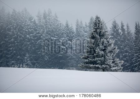 Winter forest - trees covered with snow