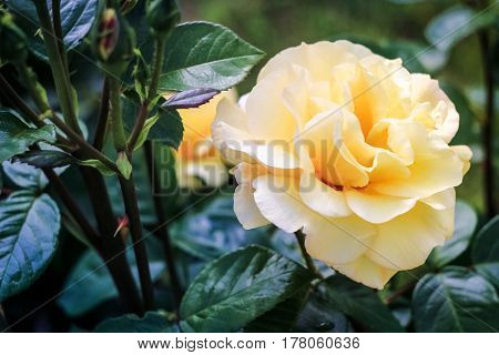 Light yellow rose on a green background