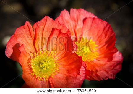 red poppy at the botanical garden, Soft selective focus and shallow depth of field