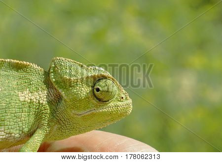 Head of wild chameleon lizard closeup on a green background