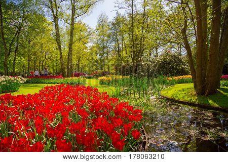 Lisse Netherlands - May 7 2016: Colorful tulips in the Keukenhof park Netherlands. Flower bed of colourful tulips in spring. Keukenhof park Netherlands. Fresh blooming tulips in the spring garden. Blooming flowers in Keukenhof.