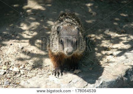 ground hog young cute animal  furry rodent