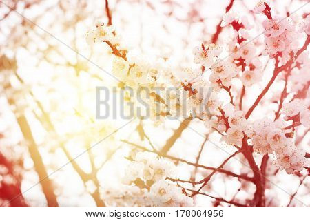 Beautiful White Cherry Blossom In Spring Day. Background