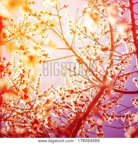 Beautiful Branches Of Cherry Blossom In Sunny Day. Toned