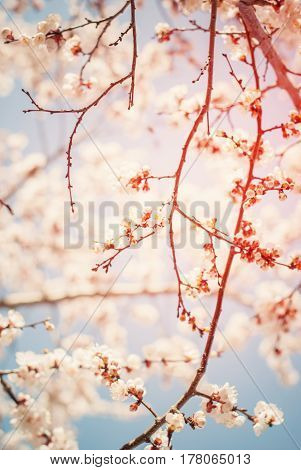 Beautiful White Cherry Blossom In Spring Sunny Day On Blue Sky