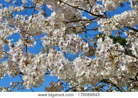 Japanese cherry tree blossom with blue sky in spring