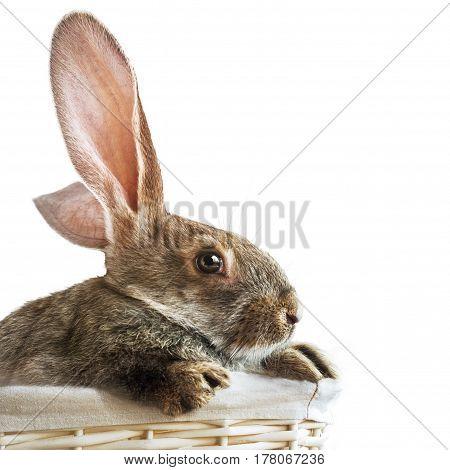 Rabbit In Wattled Basket Isolated White Background
