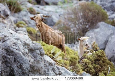 Male and female goats in mountains on coast Kalymnos island Greece