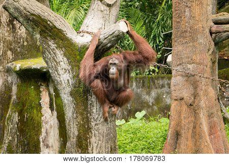 Portrait female orangutan with hanging pose .