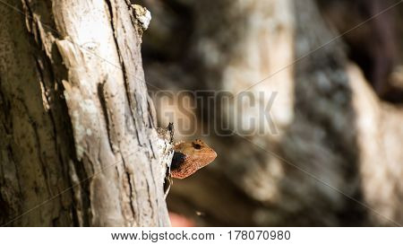 Portrait of Lizard from Thailand (Southeast Asia)