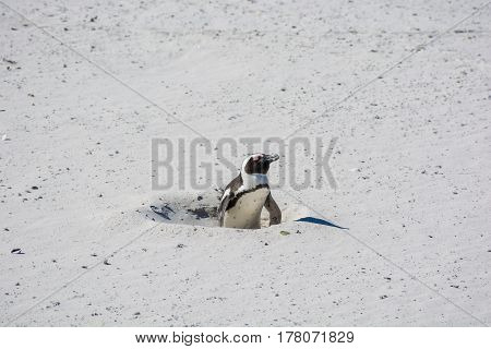 An African Penguin, Also Known As A Jackass Penguin