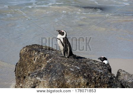 African Penguins, Also Known As Jackass Penguins Sitting On A Rock
