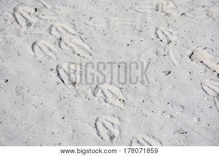 Footprints of African penguins also known as Jackass penguins on the beach