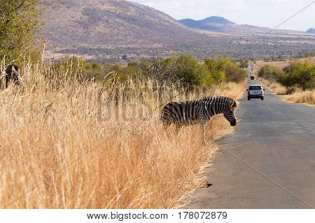 Zebra Cross The Road From South Africa, Pilanesberg National Park