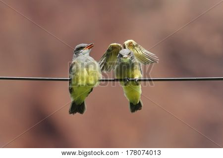 Baby Western Kingbird (Tyrannus verticalis) sitting on a wire