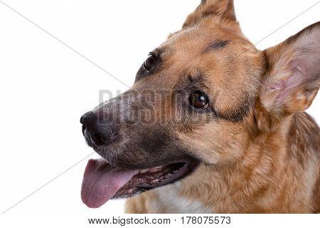 Pedigreed brown shepherd showing tongue on white background