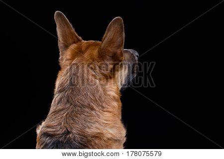 Portrait of turned away german shepherd on black background