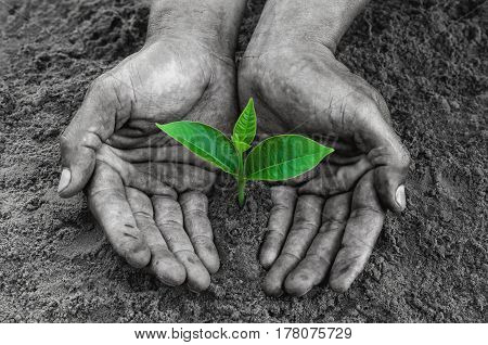 hands black holding and caring a young green plant on dirt