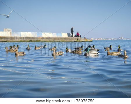 The nice seagulls and cute ducks on the sea