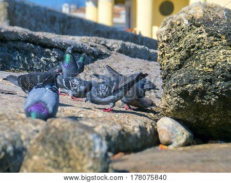 The beautiful pigeons near the Black Sea