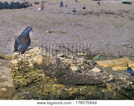 A beautiful pigeon sits on a rock by the sea