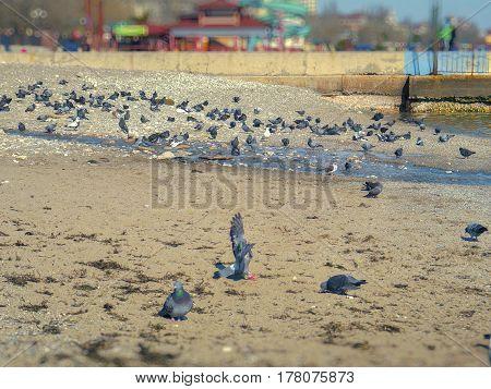 Very beautiful pigeons near the Black Sea