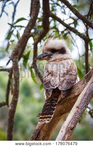 Australian Kookaburra in the forest, location - Grampians Australian national park, location - Australia
