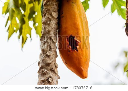 Papaya ripened on the tree was punctured.