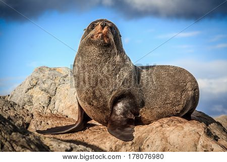 fur seal at the coast - New Zealand, North Island, Wellington