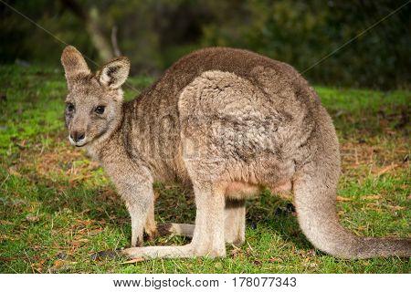 grey kangaroo - Grampians Australian national park, location - Australia
