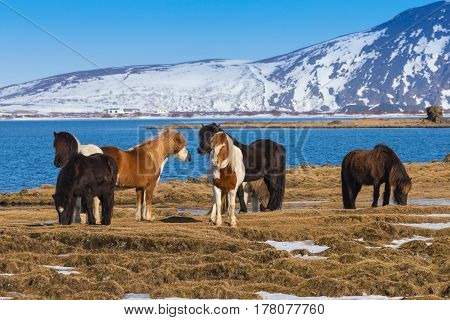 Icelandic horses in local farm with beautiful winter season lake background Iceland natural landscape background