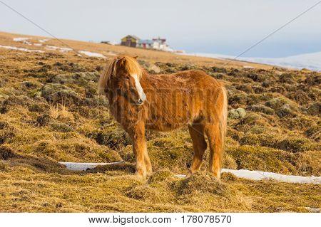 Icelandic horse on dried glass fram animal Iceland winter season background