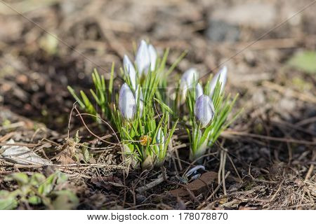 Small blue crocuses in early spring closeup