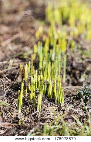 green sprouts of flowers in the early spring
