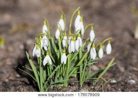 White snowdrops in early spring close up