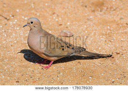 A mourning dove (Zenaida macroura) standing in dirt in profile.