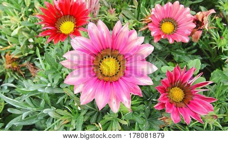 Gazania flower field Gazania rigens in the park