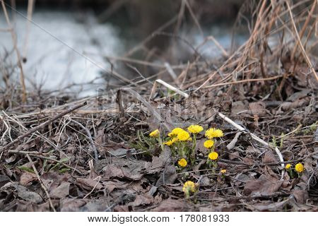 Coltsfoot - yellow flowers that appear in early spring